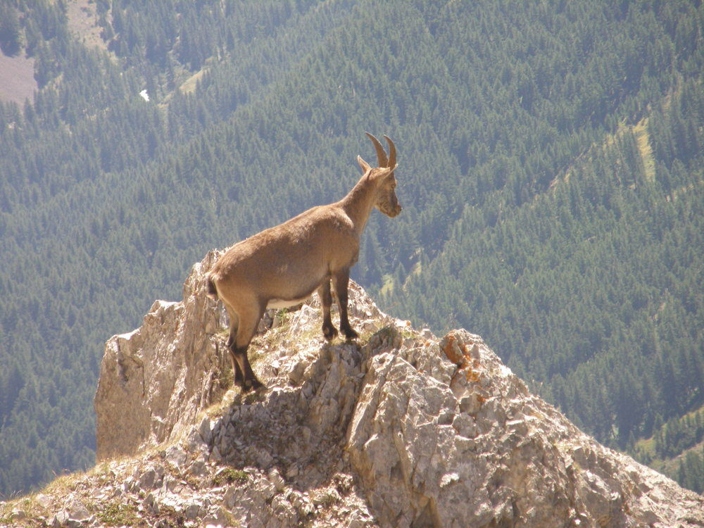 Chamois on Lauzet