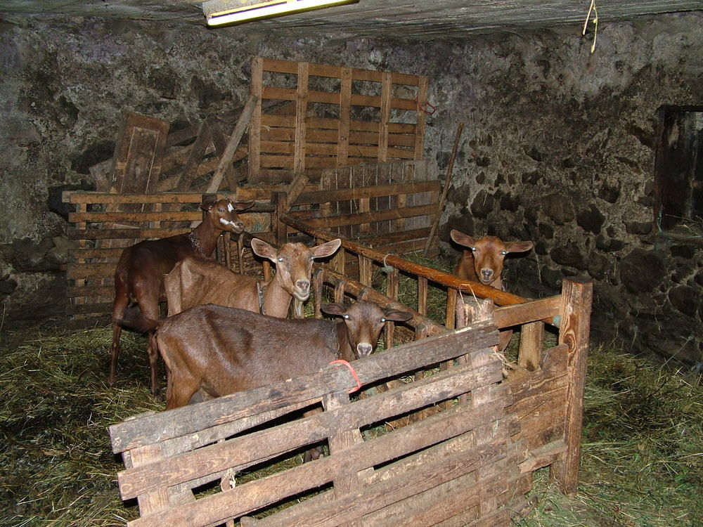 Goats in their shed